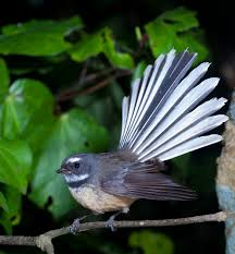fantail
